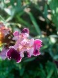 Blühende Iris im Garten Stockbild