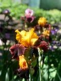 Blühende Iris im Garten Stockfoto