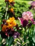 Blühende Iris im Garten Lizenzfreie Stockfotografie