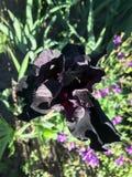 Blühende Iris im Garten Lizenzfreies Stockfoto