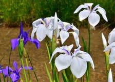 Blühende Iris im japanischen Garten, Kyoto Japan Lizenzfreies Stockfoto