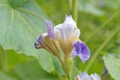 Blühende Irisnahaufnahme auf einem unscharfen Hintergrund von Grünpflanzen Stockfotos