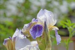 Blühende Irisnahaufnahme auf einem unscharfen Hintergrund von Grünpflanzen Lizenzfreie Stockfotografie
