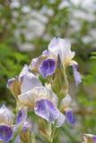 Blühende Irisnahaufnahme auf einem unscharfen Hintergrund von Grünpflanzen Stockbild