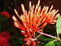 Blühende Ixora-Blume Lizenzfreies Stockfoto