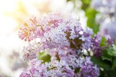 Blühende Jahreszeit der Flieder im Frühjahr Purpurrotes Serenus mit Sonnenschein Nahaufnahme stockfoto