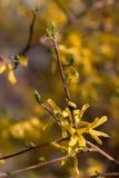 Blühende Japan-Kirschbaumnahaufnahme Stockfoto