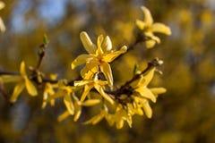 Blühende Japan-Kirschbaumnahaufnahme Stockfotos