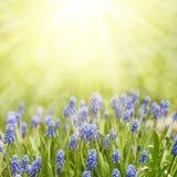 Blühende Japan-Kirschbaumnahaufnahme Blumen von Muscari in der Sonne Stockfotos