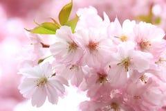 Blühende japanische Kirschbaumniederlassungen Stockbilder