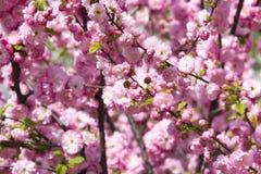 Blühende japanische Kirsche im Frühjahr Lizenzfreie Stockfotos