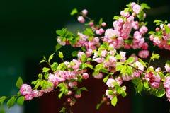 Blühende japanische Pflaume Stockbilder