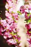 Blühende japanische Pflaume Stockfotos