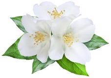 Blühende Jasminblume mit Blättern Stockbild