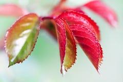 Blühende junge Blätter von Buschrosen Stockfotos