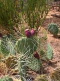 Blühende Kaktusanlage Stockfoto