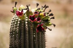 Blühende Kaktuspflanze in Phoenix, Arizona lizenzfreies stockfoto