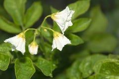Blühende Kartoffeln Stockfoto