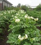 Blühende Kartoffeln Stockfotos