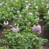 Blühende Kartoffeln Lizenzfreie Stockfotos