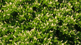 Blühende Kastanienbäume Lizenzfreies Stockfoto