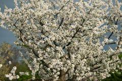 Blühende Kirschbäume Stockfoto