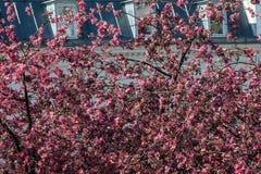 Blühende Kirschbäume Stockbild