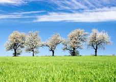 Blühende Kirschbäume und grünes Frühlingszeitmaisfeld Stockfoto