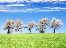 Blühende Kirschbäume und grünes Frühlingszeitmaisfeld Lizenzfreies Stockfoto