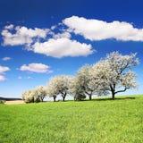 Blühende Kirschbäume und grünes Frühlingszeitmaisfeld Lizenzfreies Stockbild