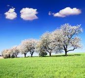 Blühende Kirschbäume und grünes Frühlingszeitmaisfeld Stockfotografie