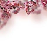 Blühende Kirschblüte Lizenzfreie Stockfotos