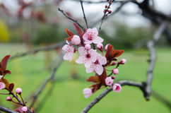 Blühende Kirschblüte Stockfotografie