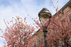 blühende Kirschblüte-Bäume auf dem Hintergrund von Gebäuden und von Himmel lizenzfreie stockbilder