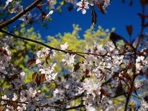 Blühende Kirschblüte-Niederlassung mit Blumen lizenzfreies stockfoto