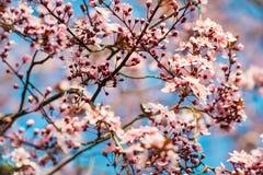Blühende Kirschblüte verzweigt sich in die Sonne mit schmaler Schärfentiefe stockbilder