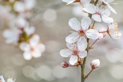 Blühende Kirschblütennahaufnahme stockfotos