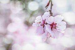 Blühende Kirschblütennahaufnahme lizenzfreie stockfotografie