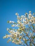 Blühende Kirsche Stockbilder