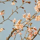 Blühende Kirsche Stockfoto