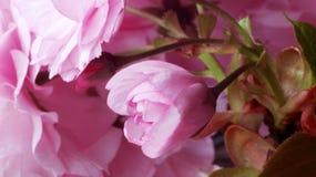 Blühende Kirsche lizenzfreie stockfotos