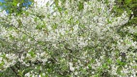 Blühende Kirsche arbeiten auf einem Wannenvideo des sonniger Tag 4K im Garten stock video footage