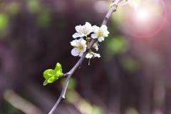 Blühende Kirsche Cherry Blossoms Frühling Dämmerung im Garten Lizenzfreies Stockfoto