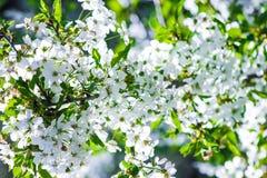 Blühende Kirsche der weißen Blumen Lizenzfreie Stockfotografie