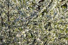 Blühende Kirsche der weißen Blumen Lizenzfreies Stockfoto