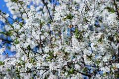 Blühende Kirsche der weißen Blumen Lizenzfreie Stockbilder