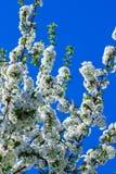 Blühende Kirsche der weißen Blumen Stockbilder
