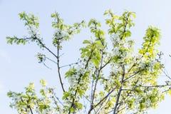 Blühende Kirsche des Frühlinges blüht Niederlassung Stockfoto