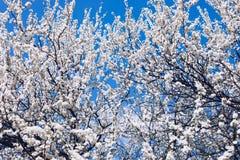 Blühende Kirsche gegen einen blauen Himmel Cherry Blossoms Wiese voll des gelben Löwenzahns Blühende Kirschbäume im Frühjahr Früh lizenzfreies stockfoto