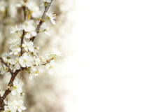 Blühende Kirsche im Frühjahr Stockbild